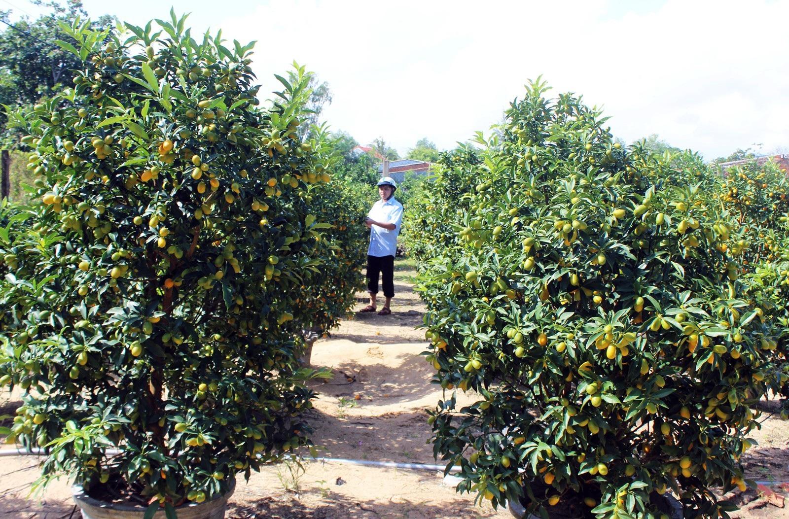 Giáp Tết: Về Phú Yên ngắm vườn quất vàng óng thu tiền triệu - Ảnh 3.