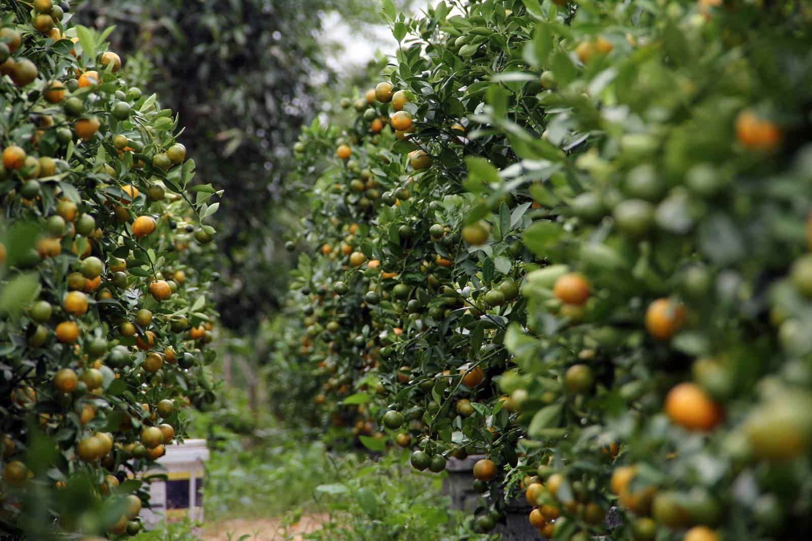 Giáp Tết: Về Phú Yên ngắm vườn quất vàng óng thu tiền triệu - Ảnh 1.