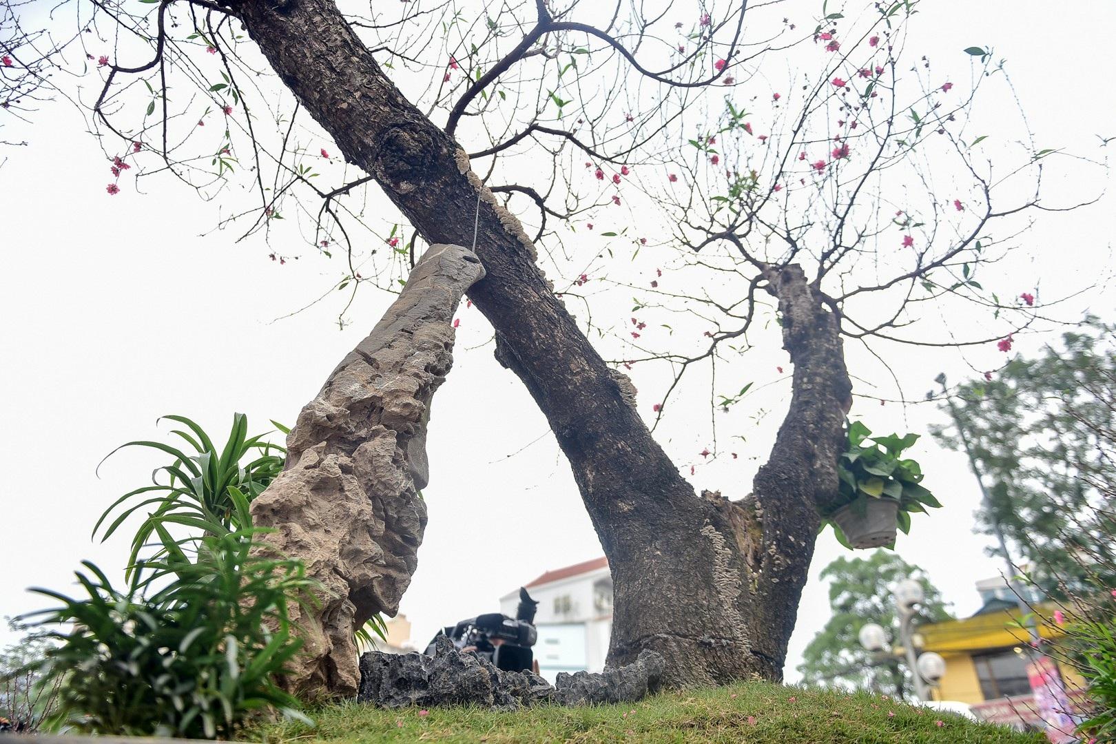 Chiêm ngưỡng cây đào dáng rồng bay lên trời giá trăm triệu - Ảnh 3.