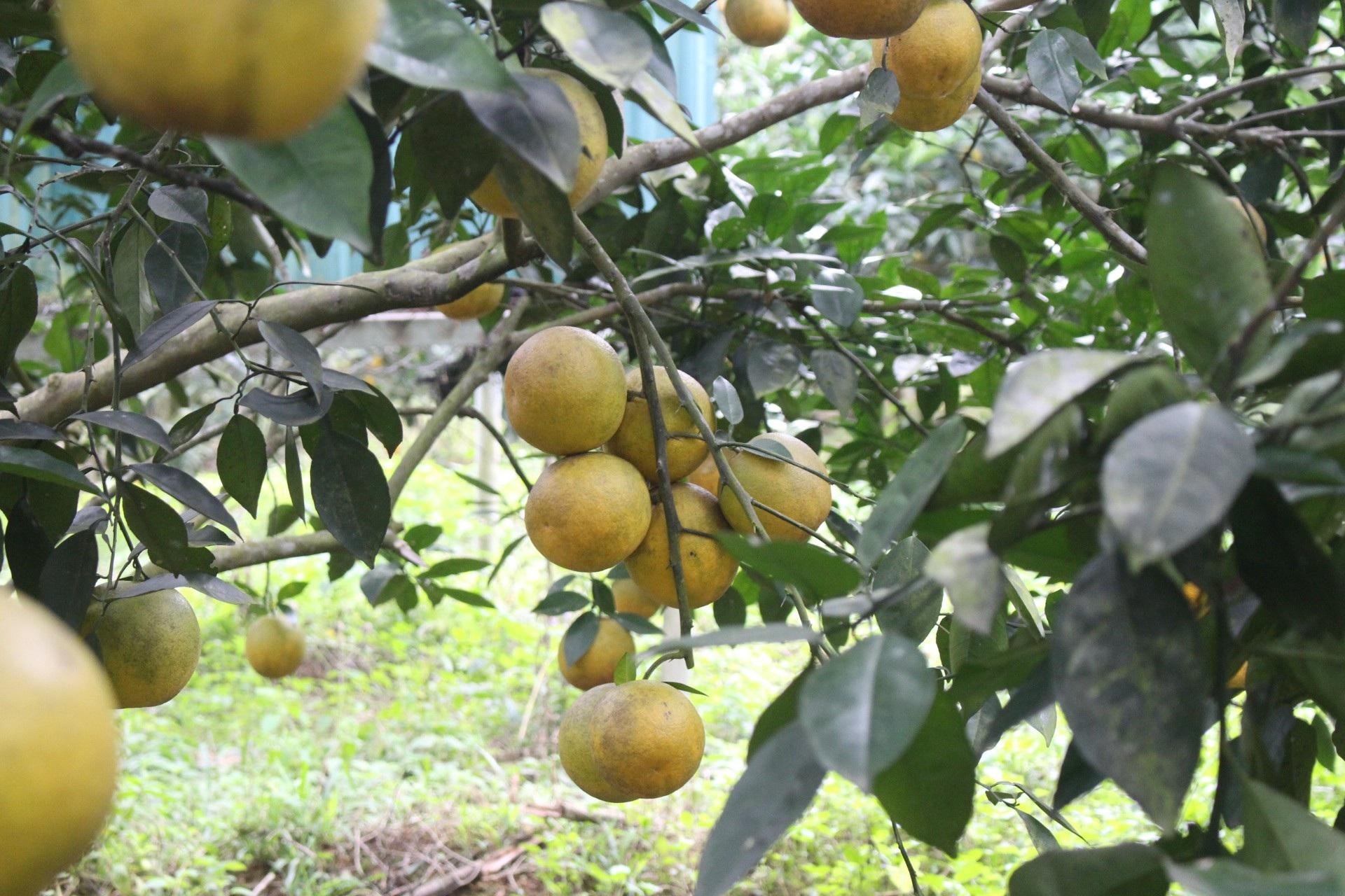 """Mê mẩn nhìn những vườn cam chín mọng chuẩn bị """"bung lụa"""" cho Tết Nguyên Đán - Ảnh 3."""