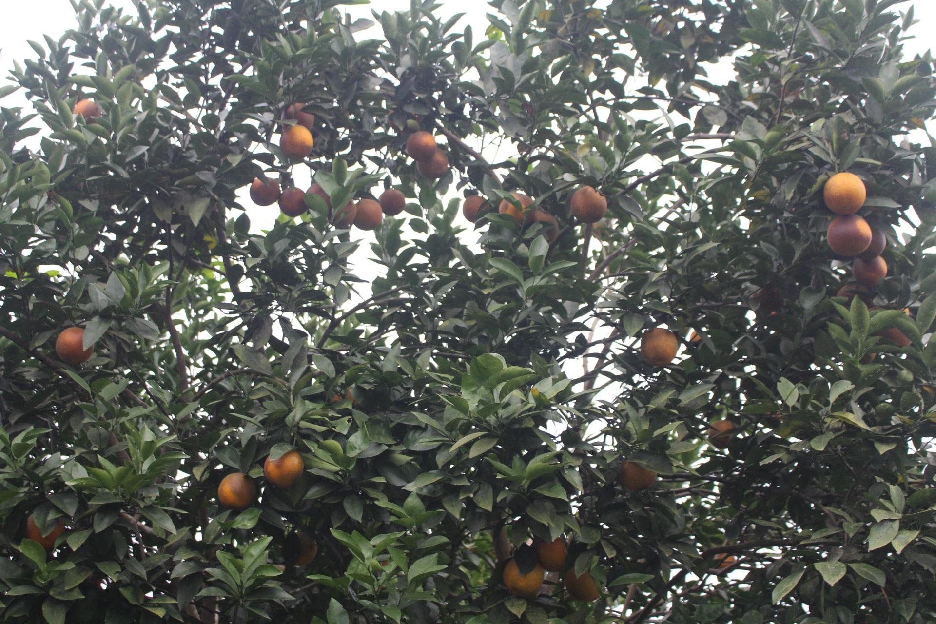 """Mê mẩn nhìn những vườn cam chín mọng chuẩn bị """"bung lụa"""" cho Tết Nguyên Đán - Ảnh 4."""
