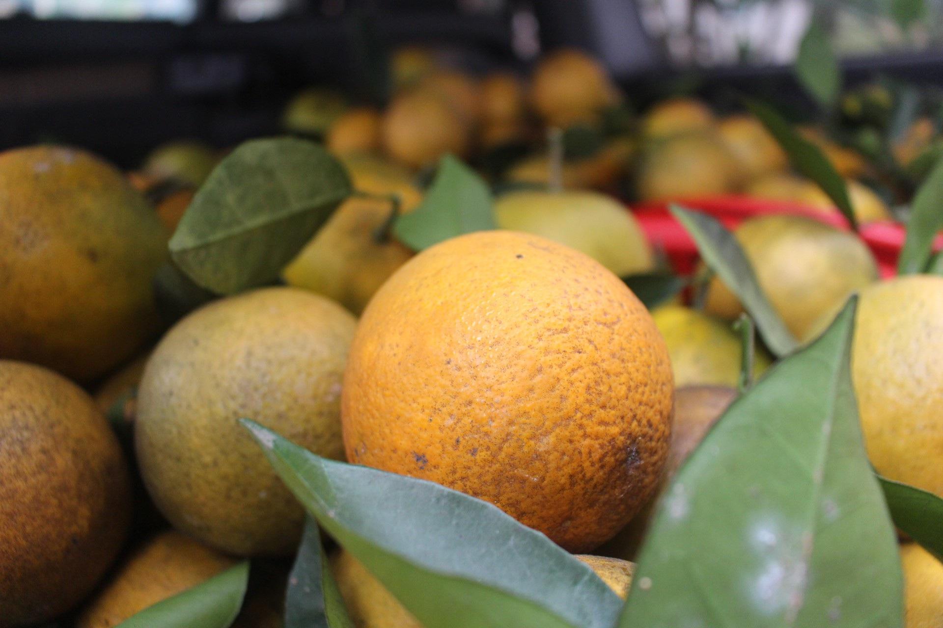 """Mê mẩn nhìn những vườn cam chín mọng chuẩn bị """"bung lụa"""" cho Tết Nguyên Đán - Ảnh 5."""