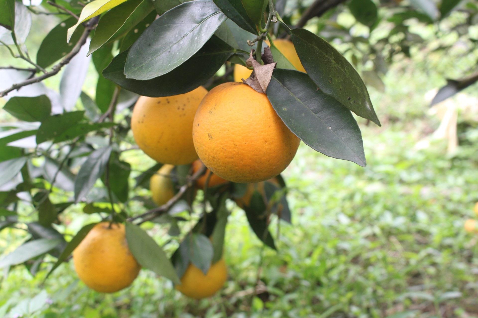 """Mê mẩn nhìn những vườn cam chín mọng chuẩn bị """"bung lụa"""" cho Tết Nguyên Đán - Ảnh 6."""