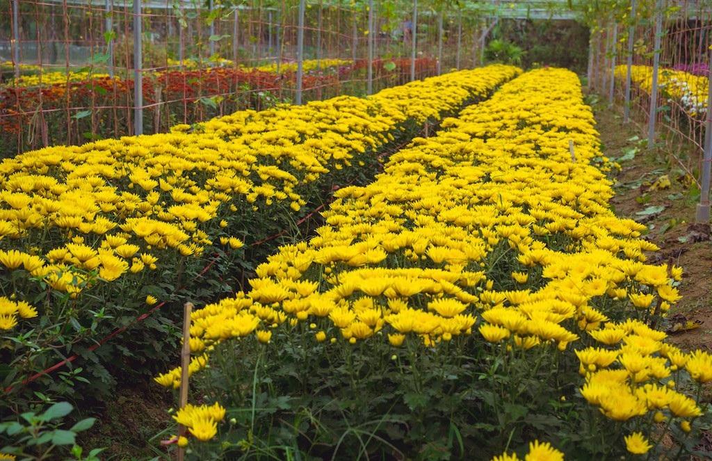 Làng hoa thành Vinh nhộn nhịp vào mùa Tết - Ảnh 6.
