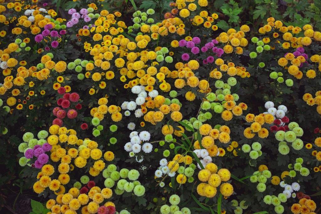 Làng hoa thành Vinh nhộn nhịp vào mùa Tết - Ảnh 5.