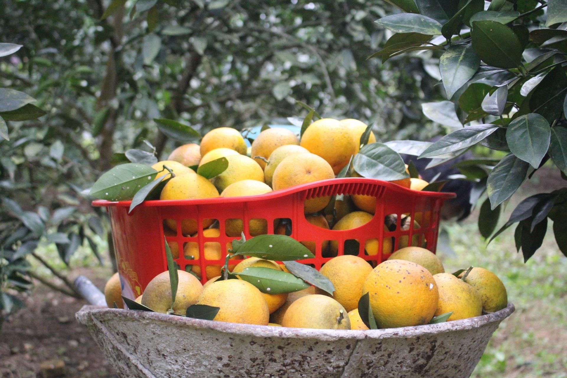 """Mê mẩn nhìn những vườn cam chín mọng chuẩn bị """"bung lụa"""" cho Tết Nguyên Đán - Ảnh 9."""