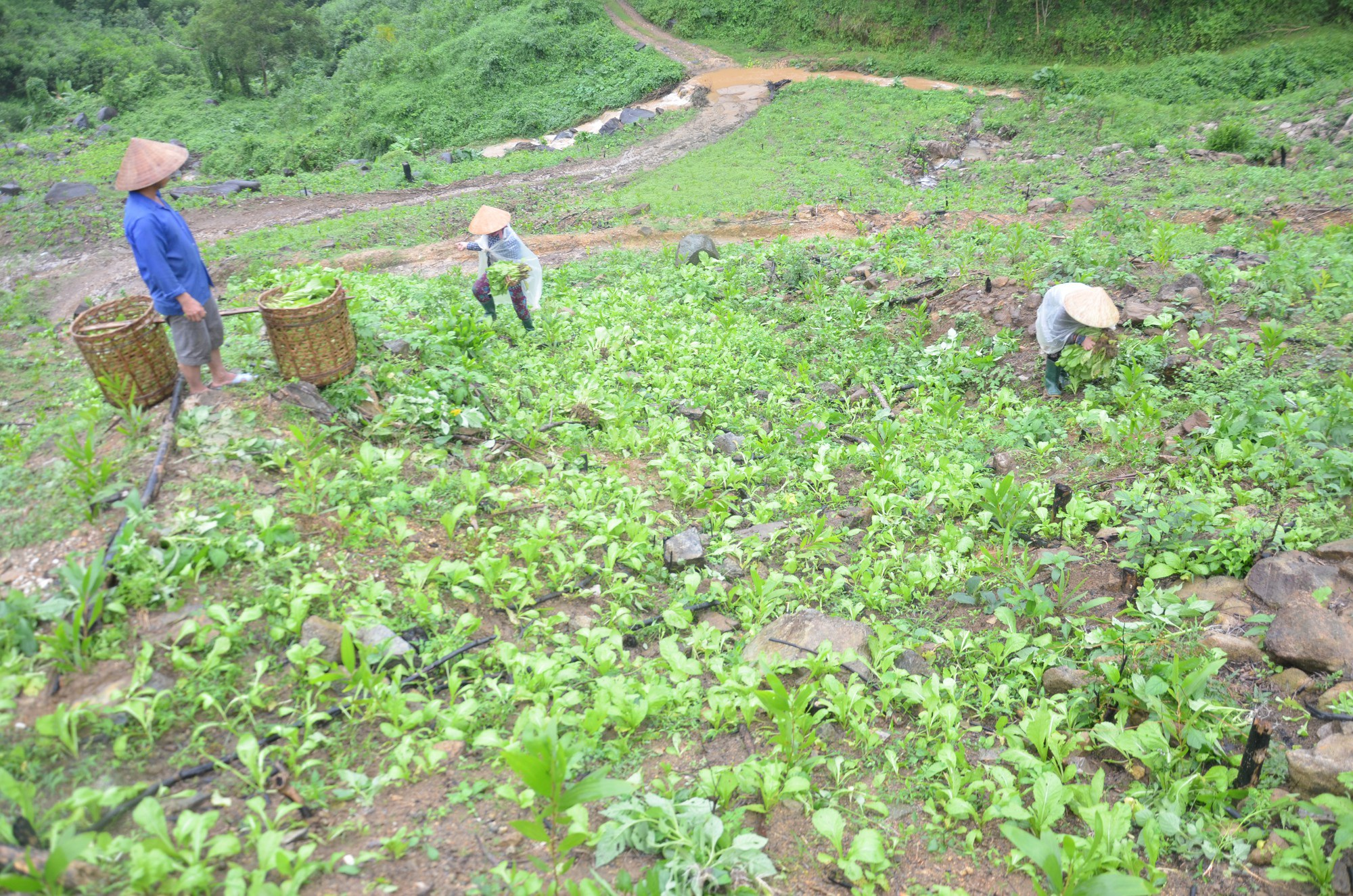 Trồng cải trên núi cao, nông dân thu nhập 400 - 500 ngàn đồng/ngày - Ảnh 1.