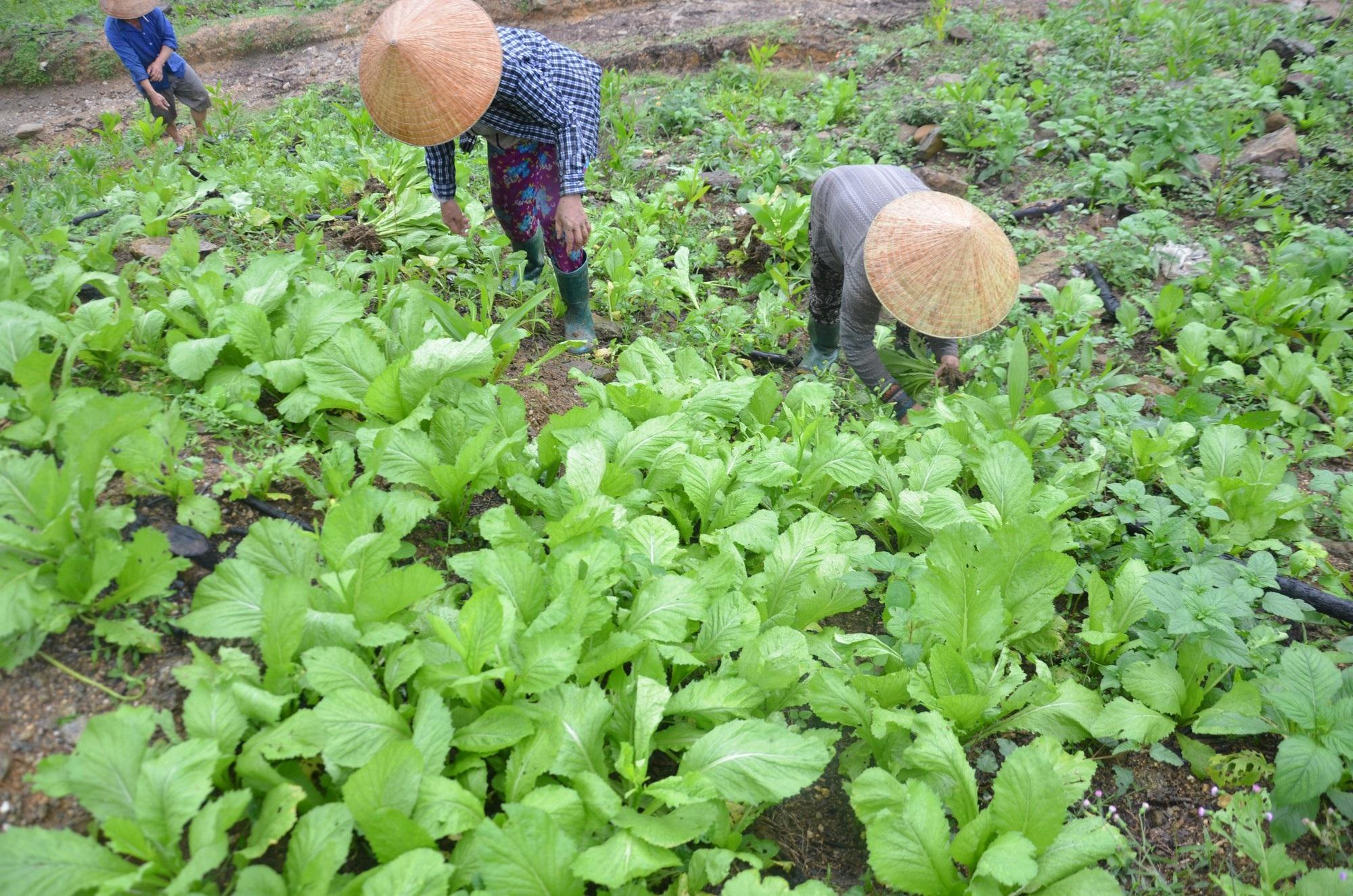 Trồng cải trên núi cao, nông dân thu nhập 400 - 500 ngàn đồng/ngày - Ảnh 2.