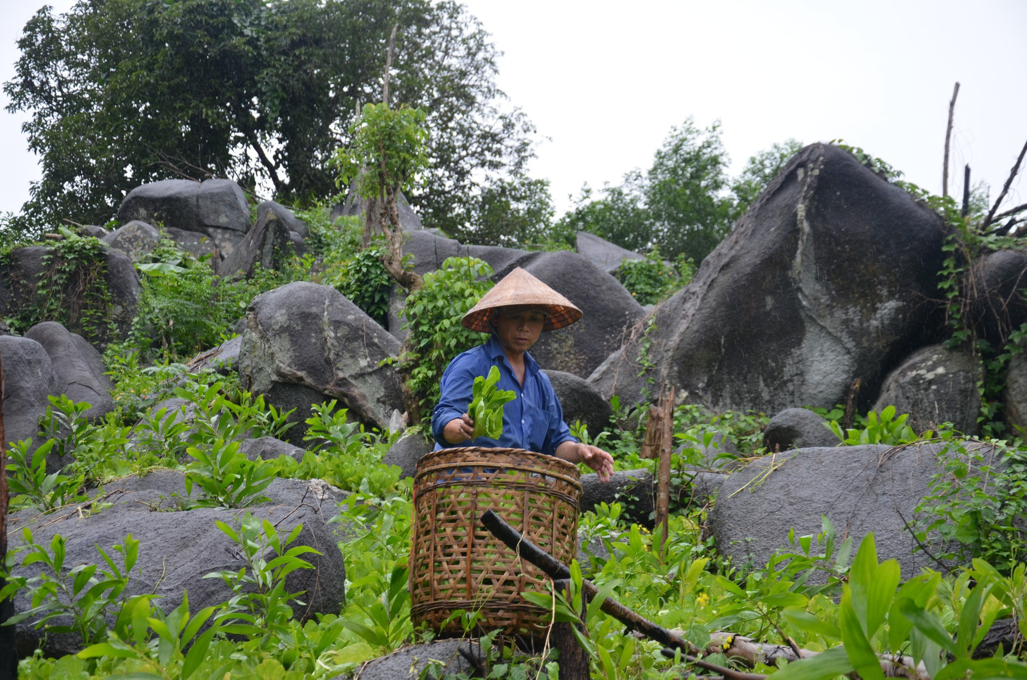 Trồng cải trên núi cao, nông dân thu nhập 400 - 500 ngàn đồng/ngày - Ảnh 4.