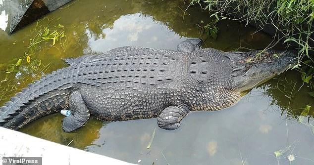 Cá sấu nhảy lên tường 2,5m, vồ chết nhà khoa học Indonesia - Ảnh 2.