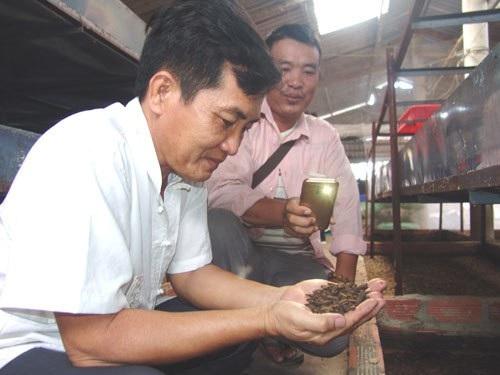 Thầy giáo bỏ nghề về quê... nuôi ruồi lấy trứng, bán 30 triệu đồng/ký - Ảnh 1.
