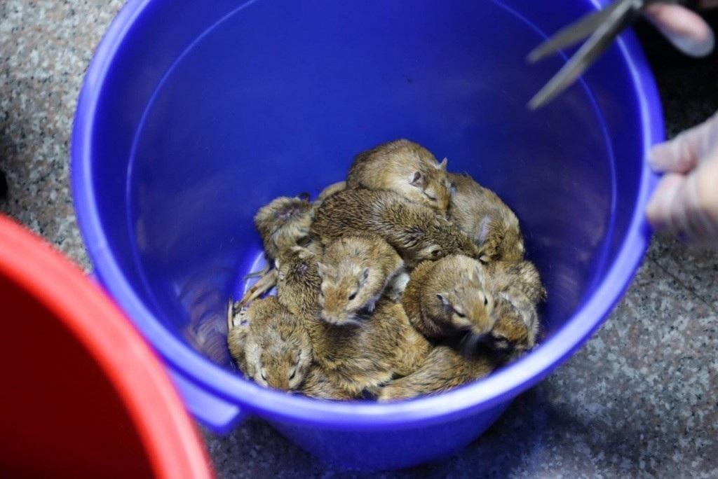 Nữ du khách bị bắt vì giấu 24 con chuột dưới váy - Ảnh 2.
