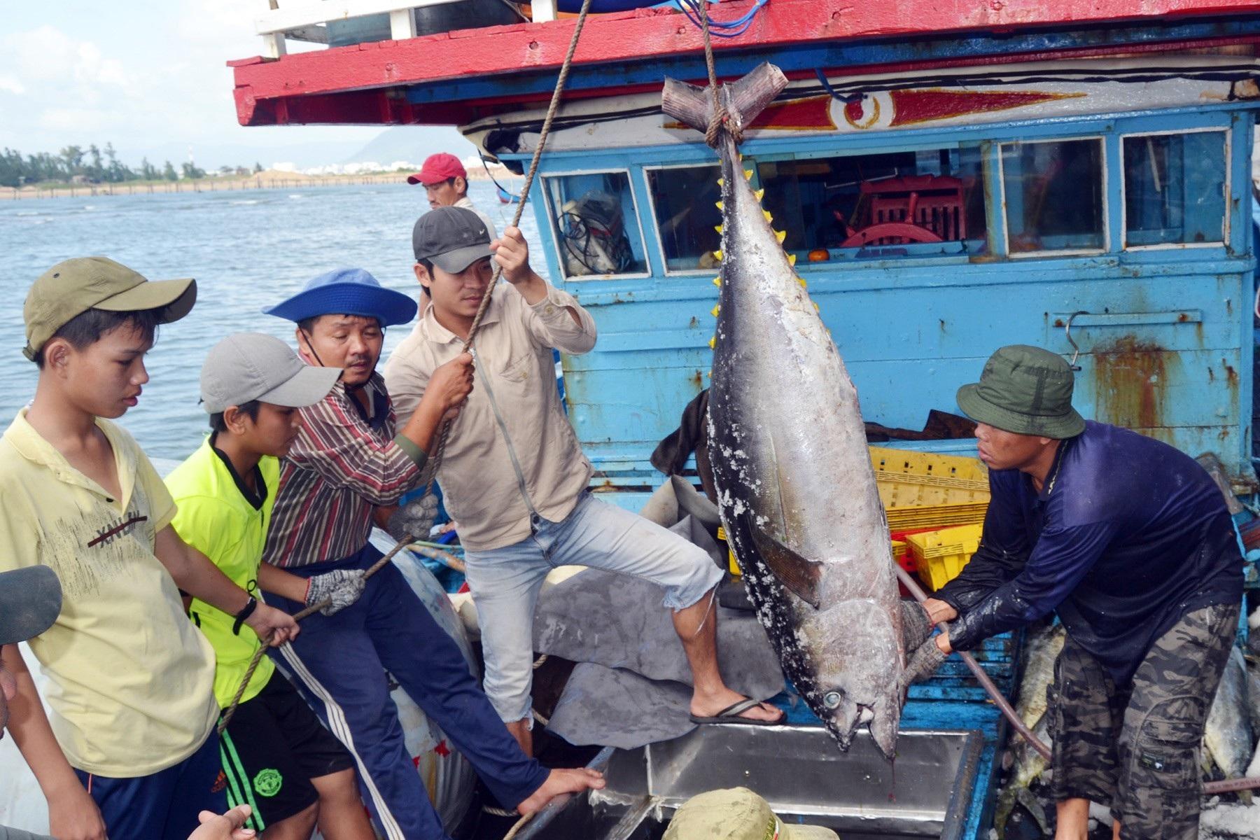 Giáp Tết: Ngư dân Phú Yên có tiền sắm tết vì trúng đậm cá ngừ đại dương  - Ảnh 2.
