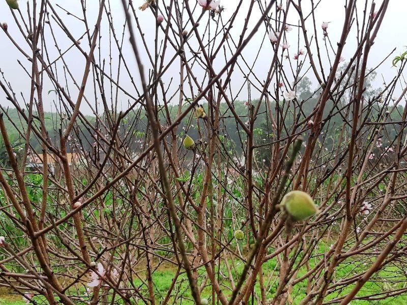 """Người trồng đào lo """"mất Tết"""" vì hoa bung nở sớm - Ảnh 3."""
