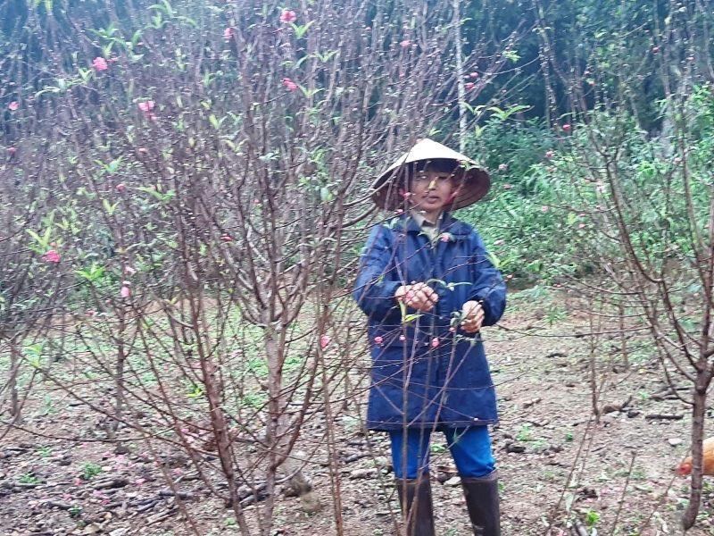 """Người trồng đào lo """"mất Tết"""" vì hoa bung nở sớm - Ảnh 8."""