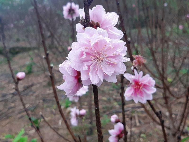 """Người trồng đào lo """"mất Tết"""" vì hoa bung nở sớm - Ảnh 5."""