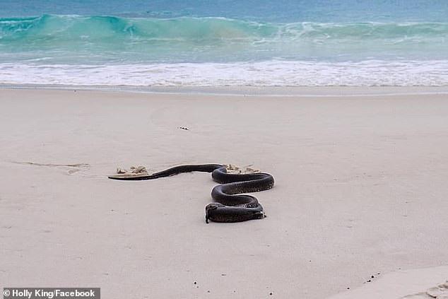 Kinh hãi khoảnh khắc rắn độc nuốt chửng kỳ đà cỡ lớn trên bãi biển - Ảnh 3.