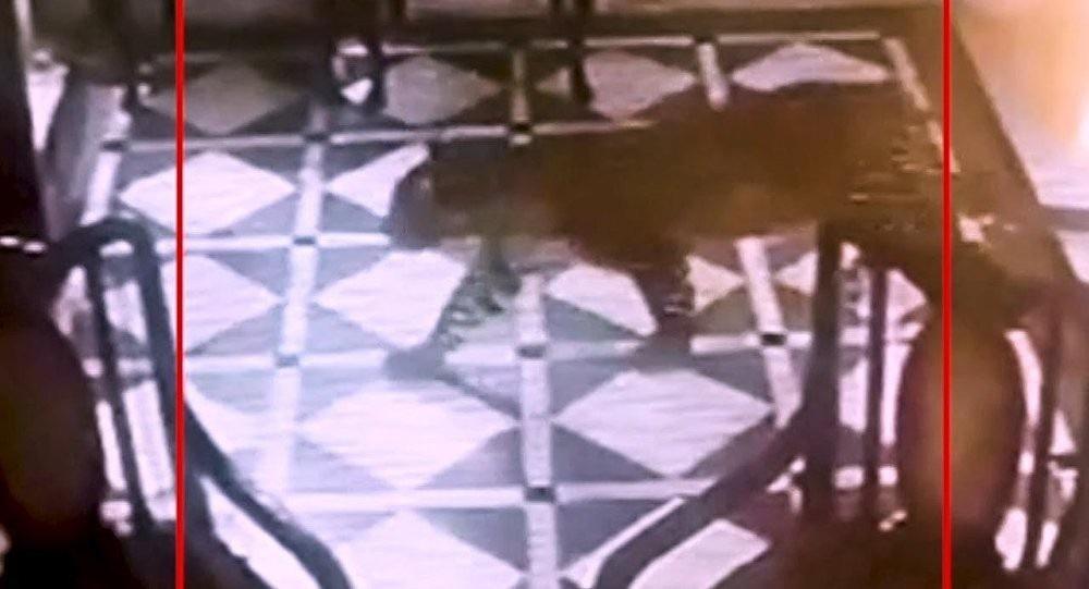 Báo đen lẻn vào sảnh, lang thang khắp khách sạn trong vòng 15 phút - Ảnh 3.