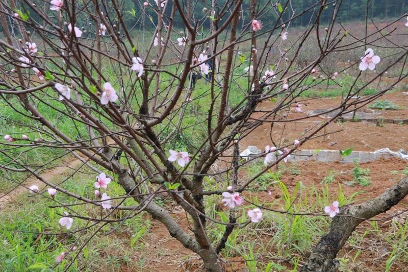 """Nông dân thủ phủ đào phai """"khóc"""" vì hoa bung nở trước Tết - Ảnh 7."""