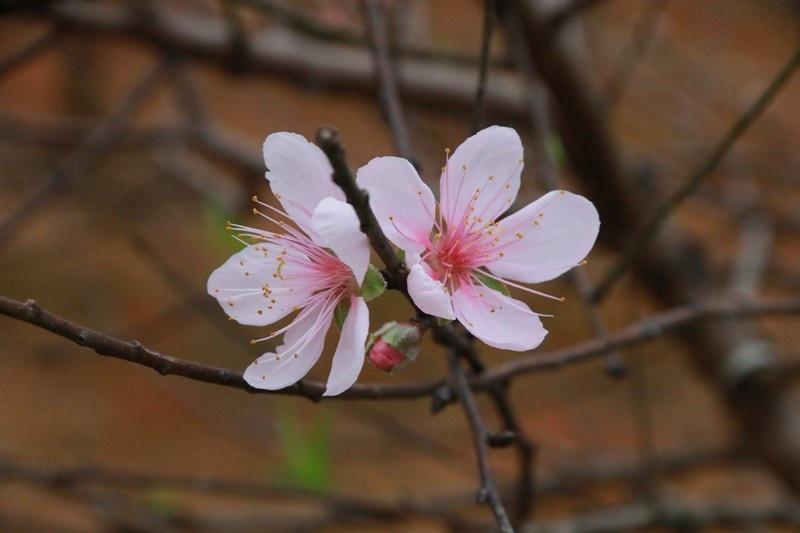 """Nông dân thủ phủ đào phai """"khóc"""" vì hoa bung nở trước Tết - Ảnh 9."""
