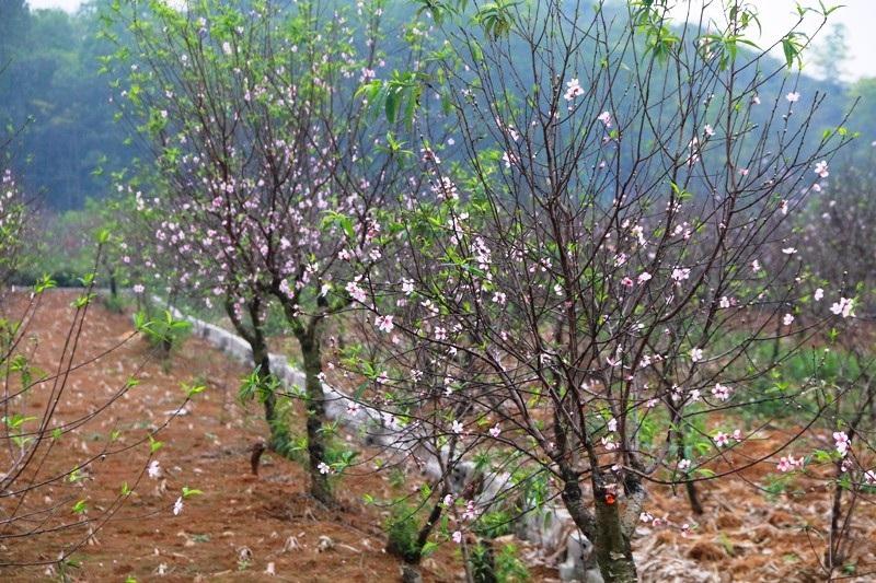 """Nông dân thủ phủ đào phai """"khóc"""" vì hoa bung nở trước Tết - Ảnh 2."""