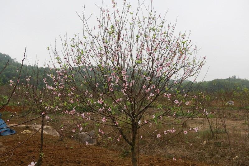 """Nông dân thủ phủ đào phai """"khóc"""" vì hoa bung nở trước Tết - Ảnh 3."""