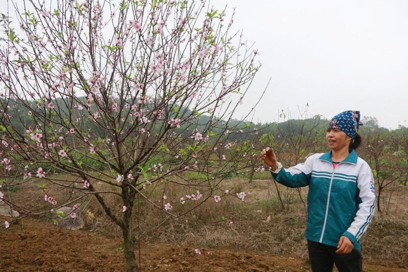 """Nông dân thủ phủ đào phai """"khóc"""" vì hoa bung nở trước Tết - Ảnh 4."""