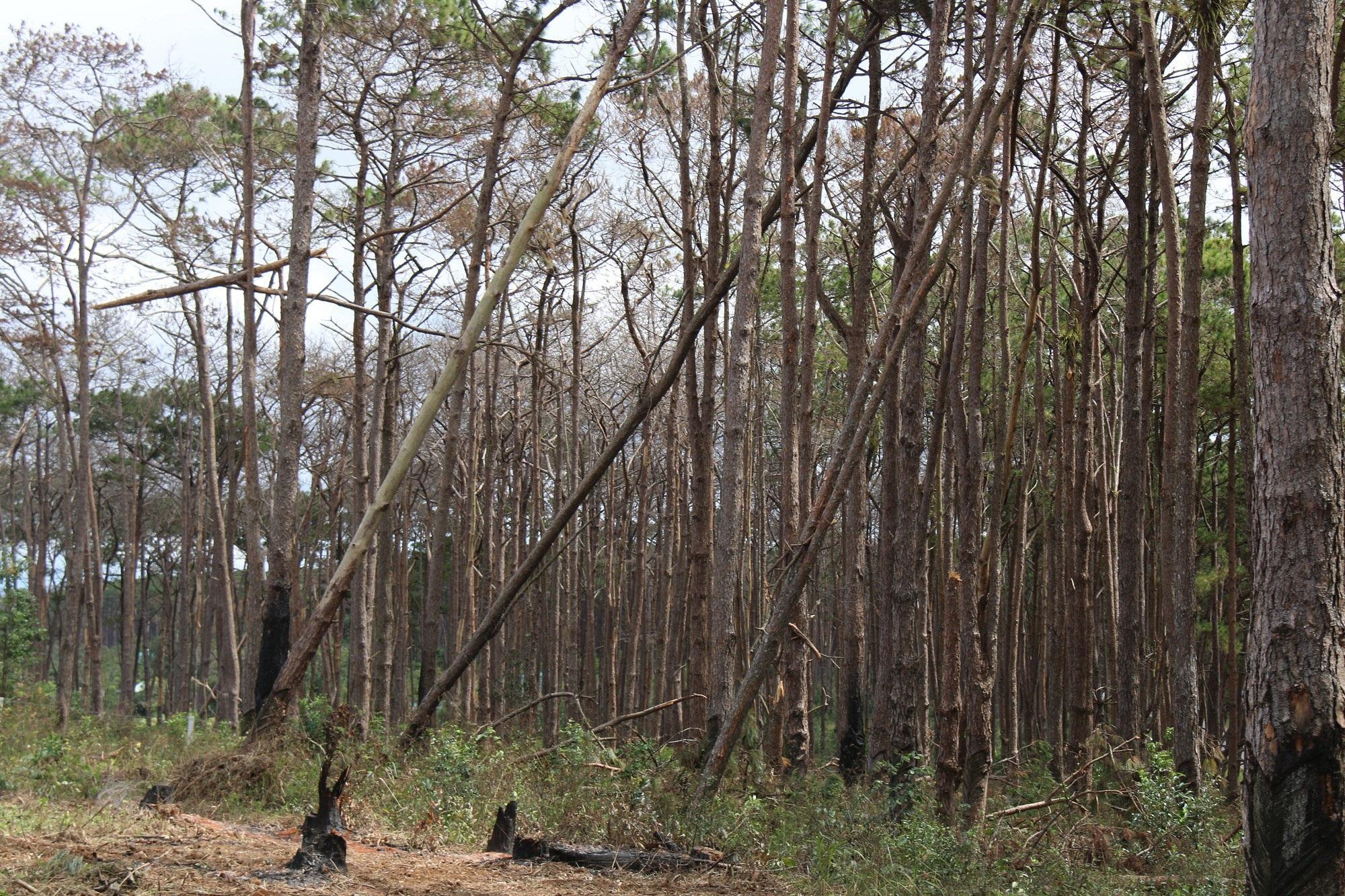 Dự án vừa bị thu hồi, rừng ngay lập tức bị bức tử - Ảnh 2.