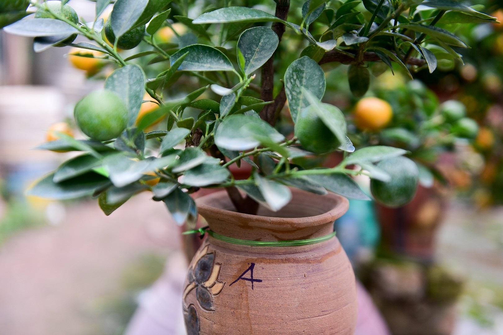 Độc đáo: Quất lọ bonsai hút khách chơi Tết - Ảnh 15.