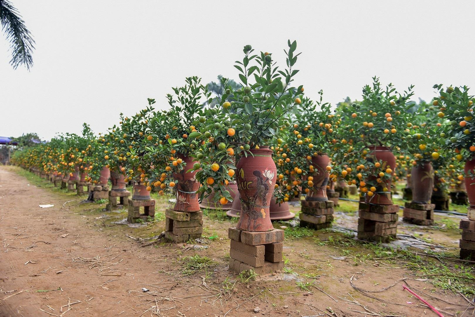 Độc đáo: Quất lọ bonsai hút khách chơi Tết - Ảnh 3.