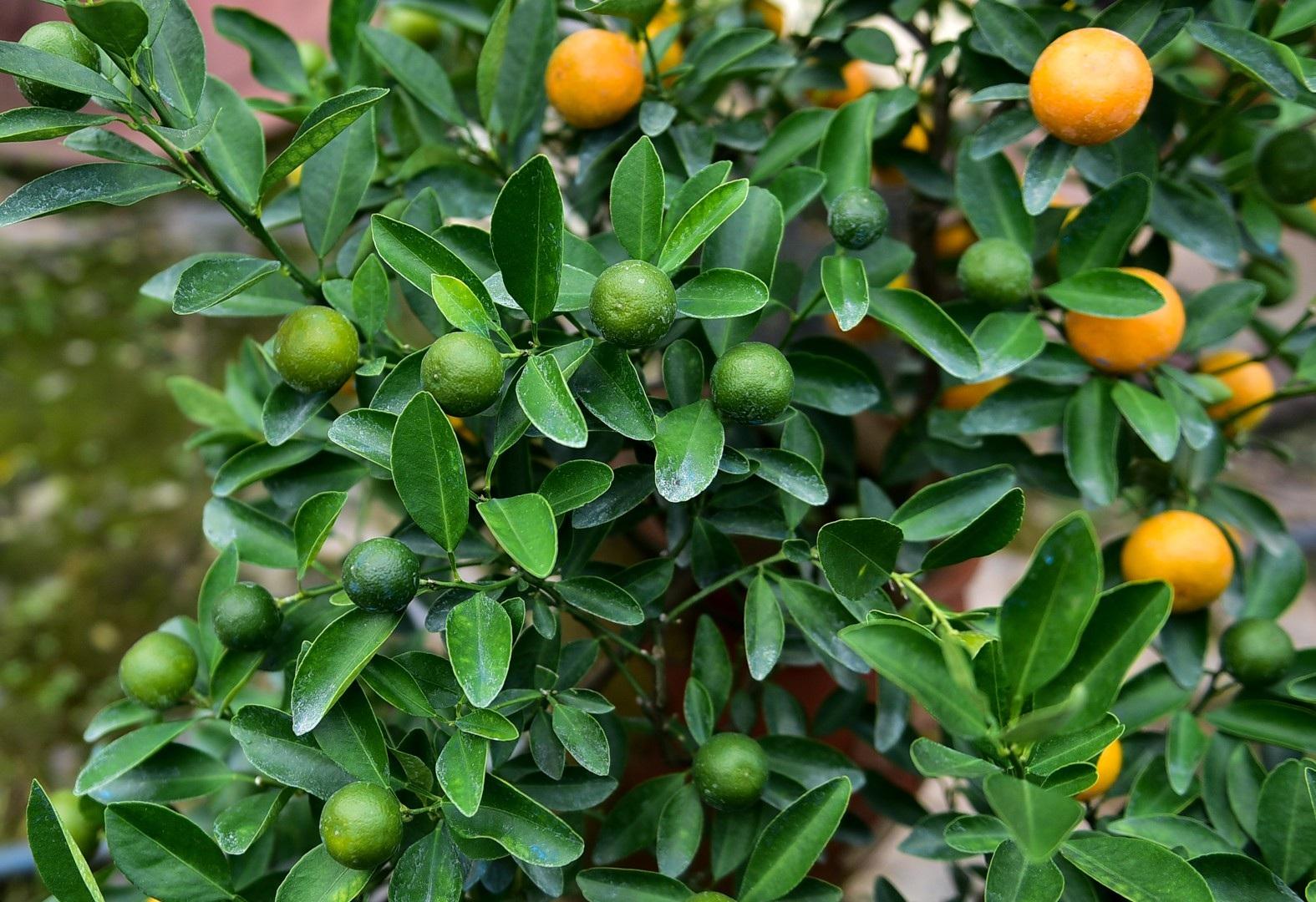 Độc đáo: Quất lọ bonsai hút khách chơi Tết - Ảnh 6.