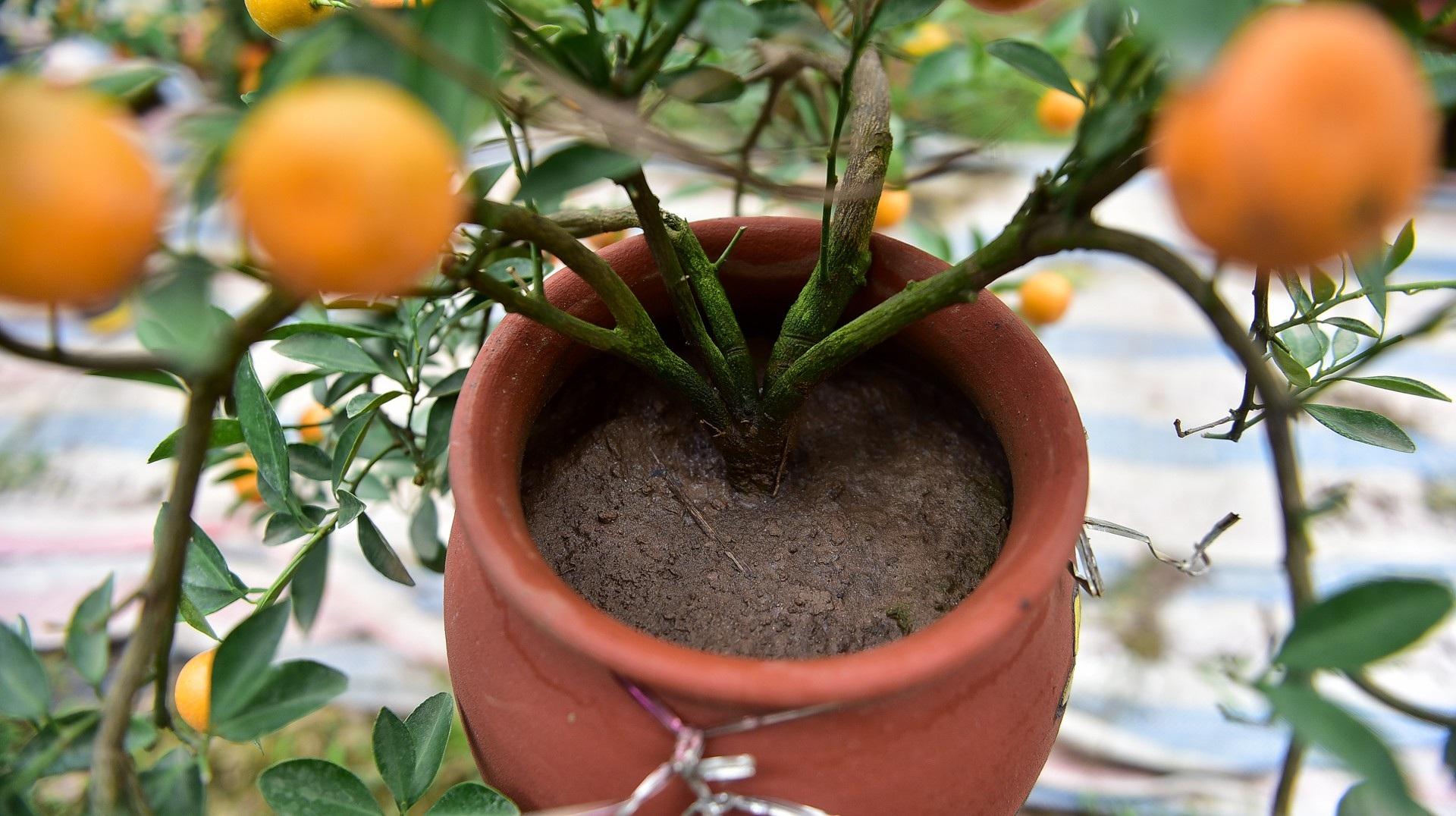 Độc đáo: Quất lọ bonsai hút khách chơi Tết - Ảnh 5.