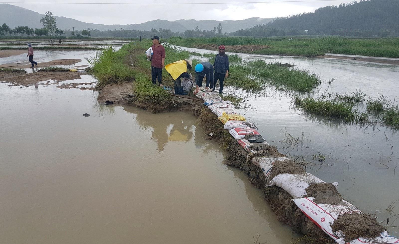 Hơn 330 tấn lúa giống đành đổ bỏ vì mưa lũ - Ảnh 4.
