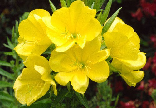 Tinh dầu hoa anh thảo – Món quà xuân sắc cho phụ nữ