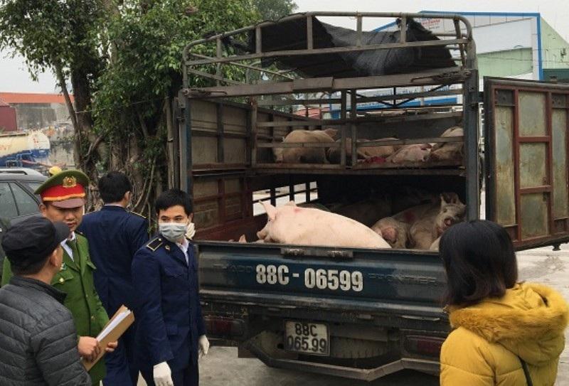 Phát hiện, thu giữ hàng chục con lợn lở mồm, long móng - Ảnh 1.