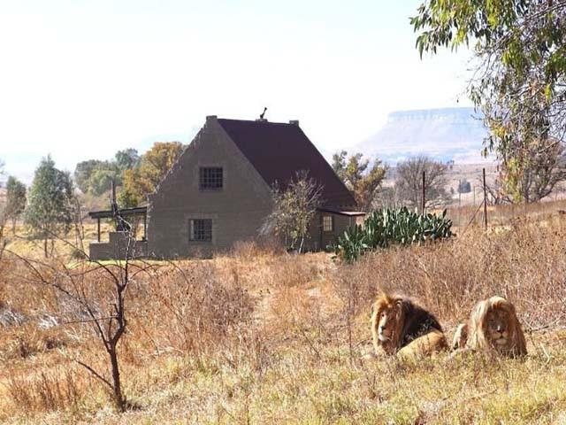 Trải nghiệm du lịch kiểu độc: ngủ với 77 con sư tử bao quanh - Ảnh 1.