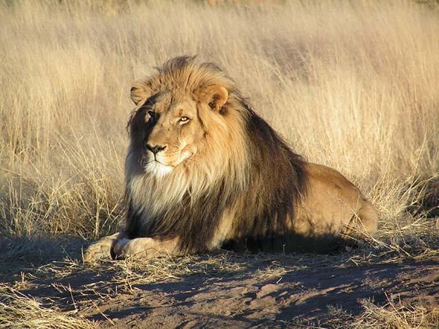 Trải nghiệm du lịch kiểu độc: ngủ với 77 con sư tử bao quanh - Ảnh 2.