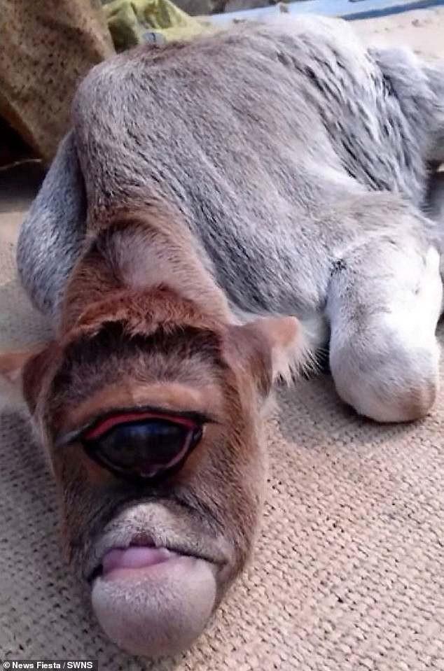 """Kỳ lạ chú bò... """"một mắt"""" được sùng bái - Ảnh 1."""