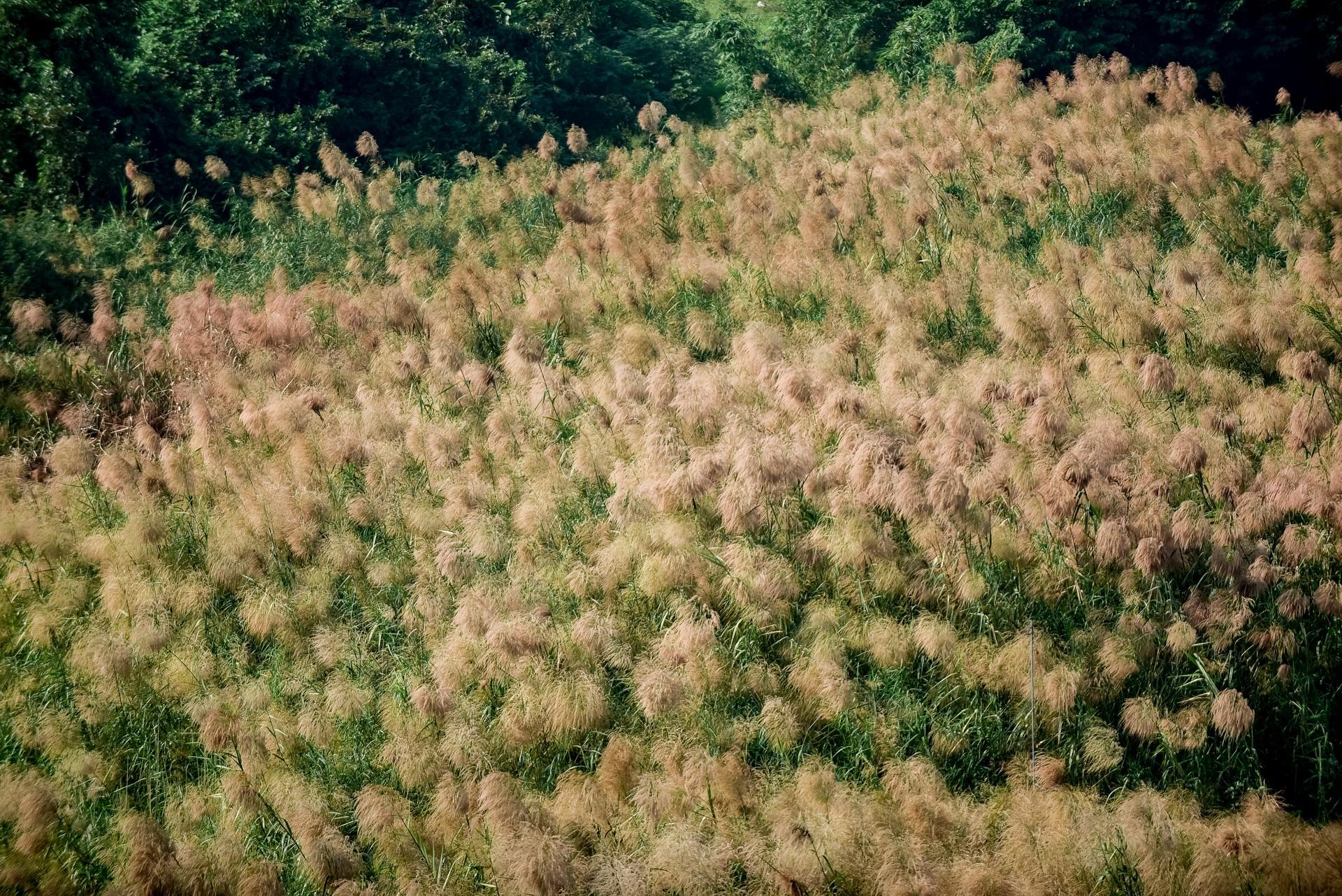 Lạc vào cánh đồng cỏ lau đẹp như xứ sở thần tiên dưới chân cầu Long Biên - 1