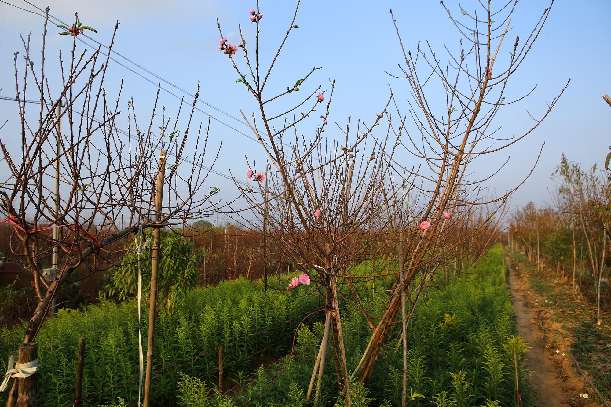 Hoa đào nở sớm khoe sắc đỏ rực vườn đào Nhật Tân - 12