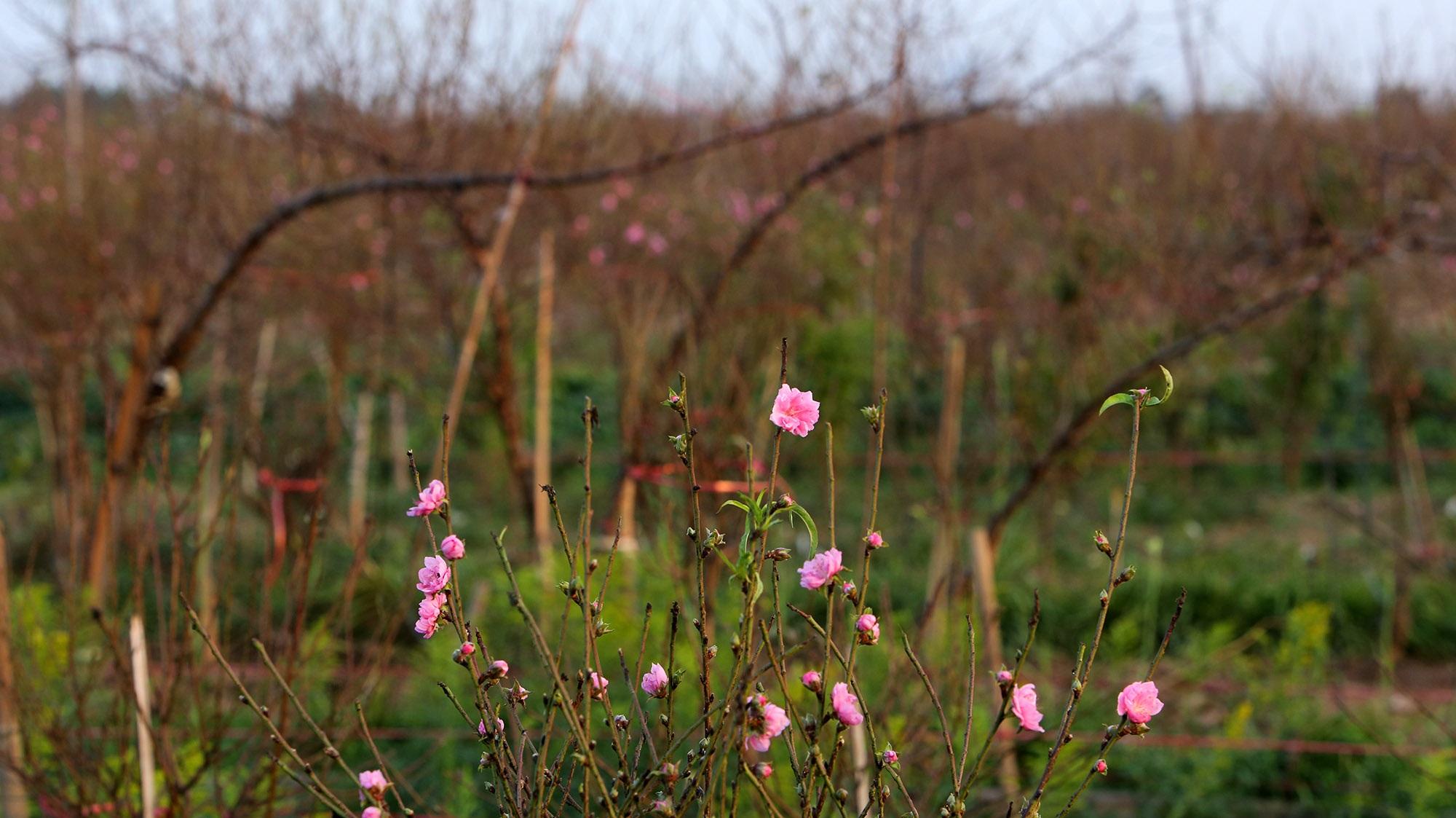 Hoa đào nở sớm khoe sắc đỏ rực vườn đào Nhật Tân - 13