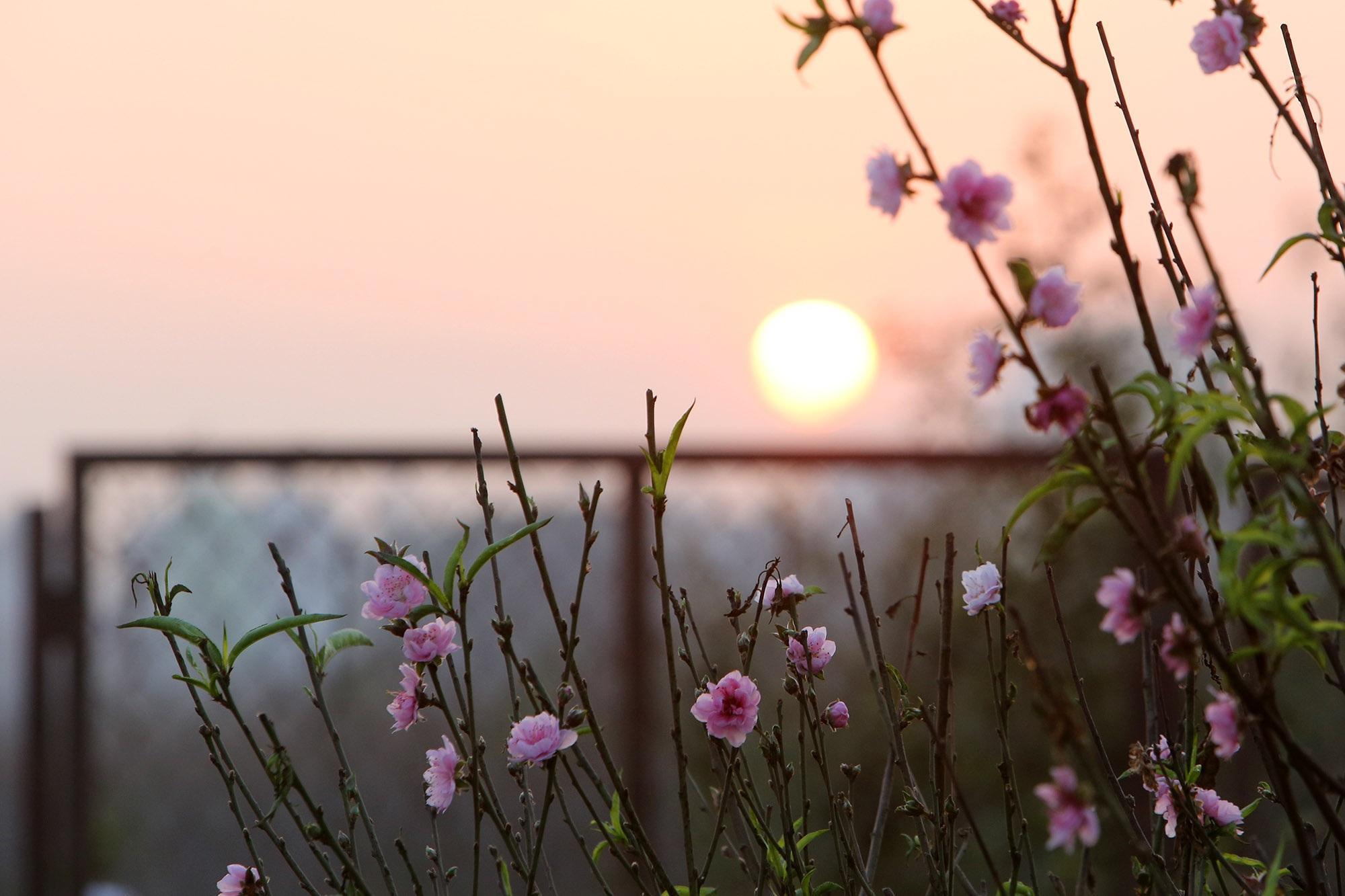 Hoa đào nở sớm khoe sắc đỏ rực vườn đào Nhật Tân - 15