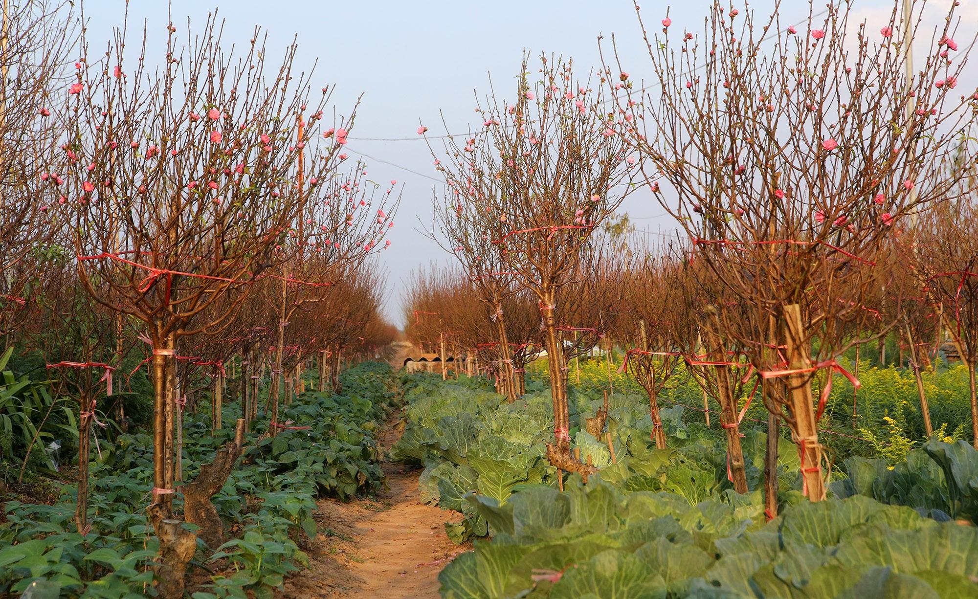 Hoa đào nở sớm khoe sắc đỏ rực vườn đào Nhật Tân - 2