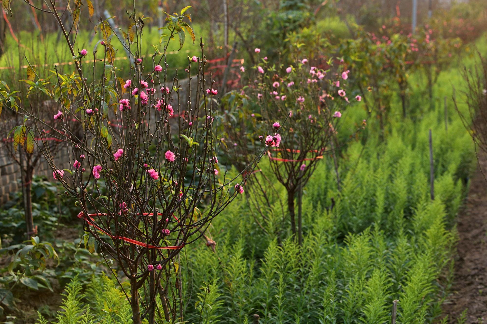 Hoa đào nở sớm khoe sắc đỏ rực vườn đào Nhật Tân - 4