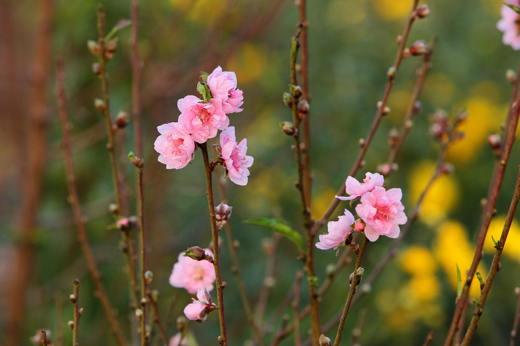 Hoa đào nở sớm khoe sắc đỏ rực vườn đào Nhật Tân - 5