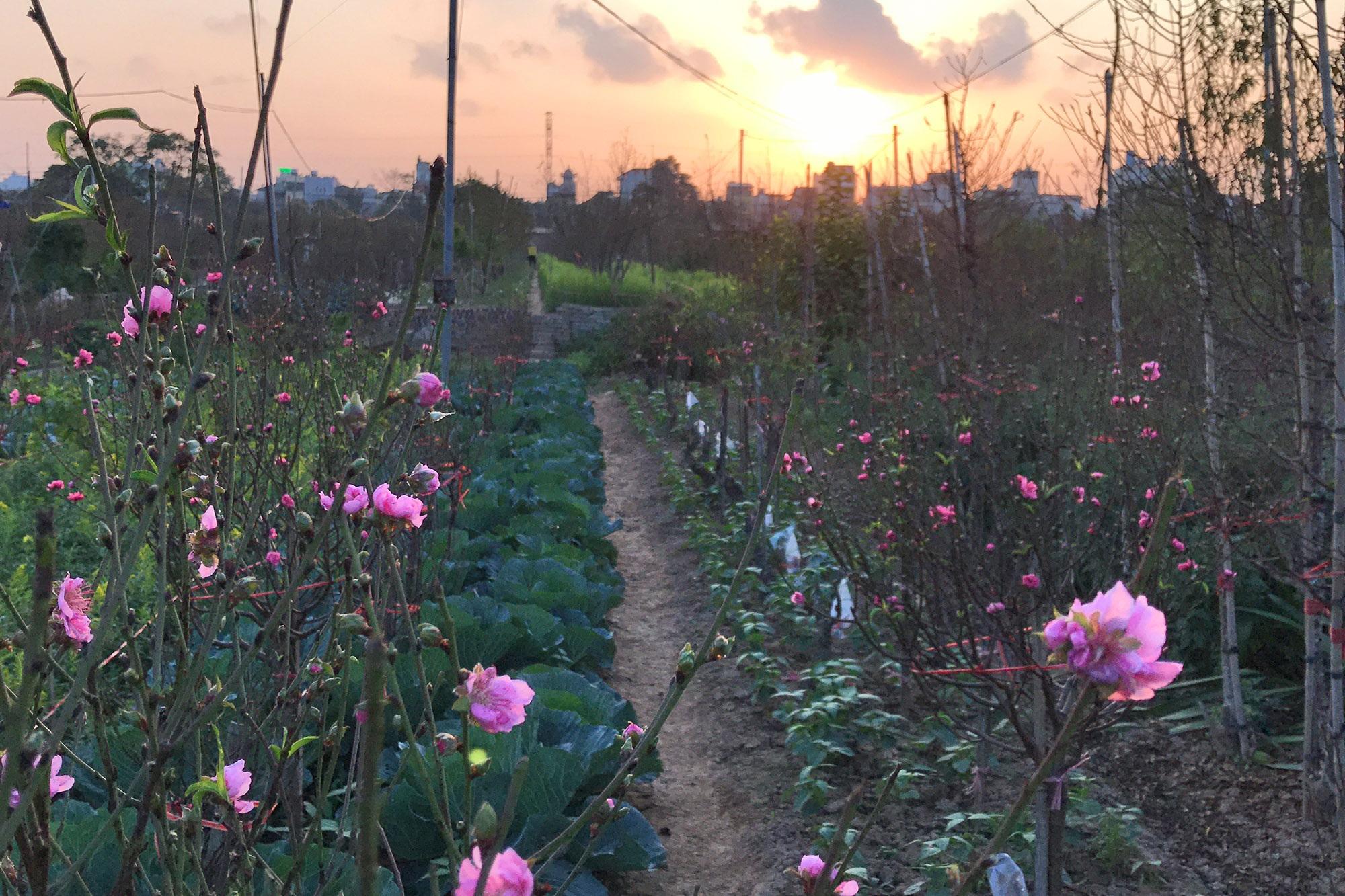 Hoa đào nở sớm khoe sắc đỏ rực vườn đào Nhật Tân - 7
