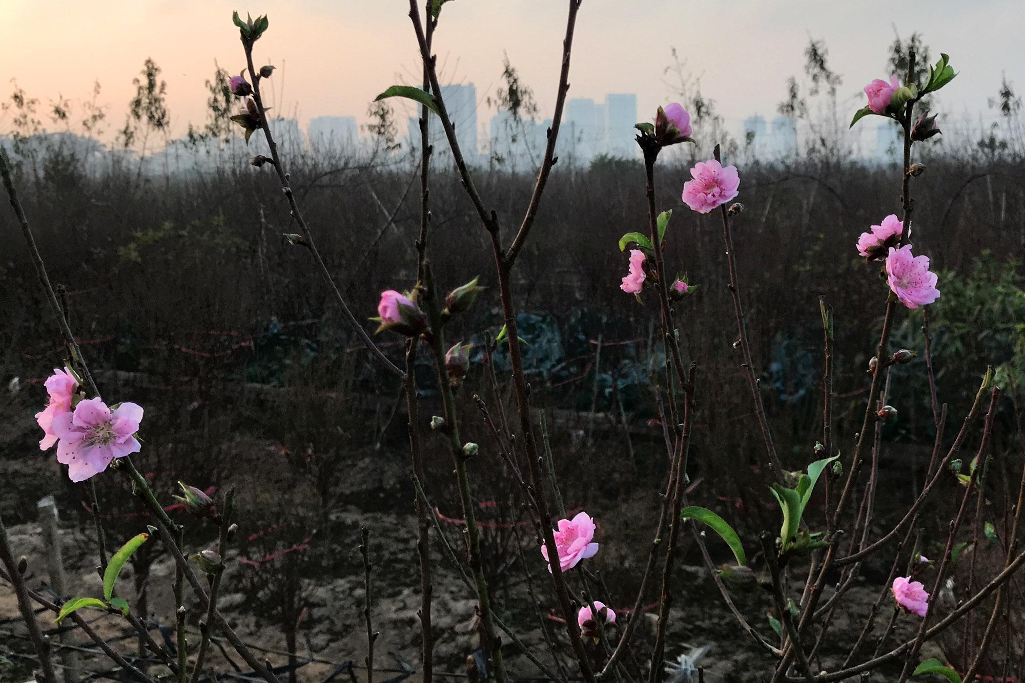 Hoa đào nở sớm khoe sắc đỏ rực vườn đào Nhật Tân - 8