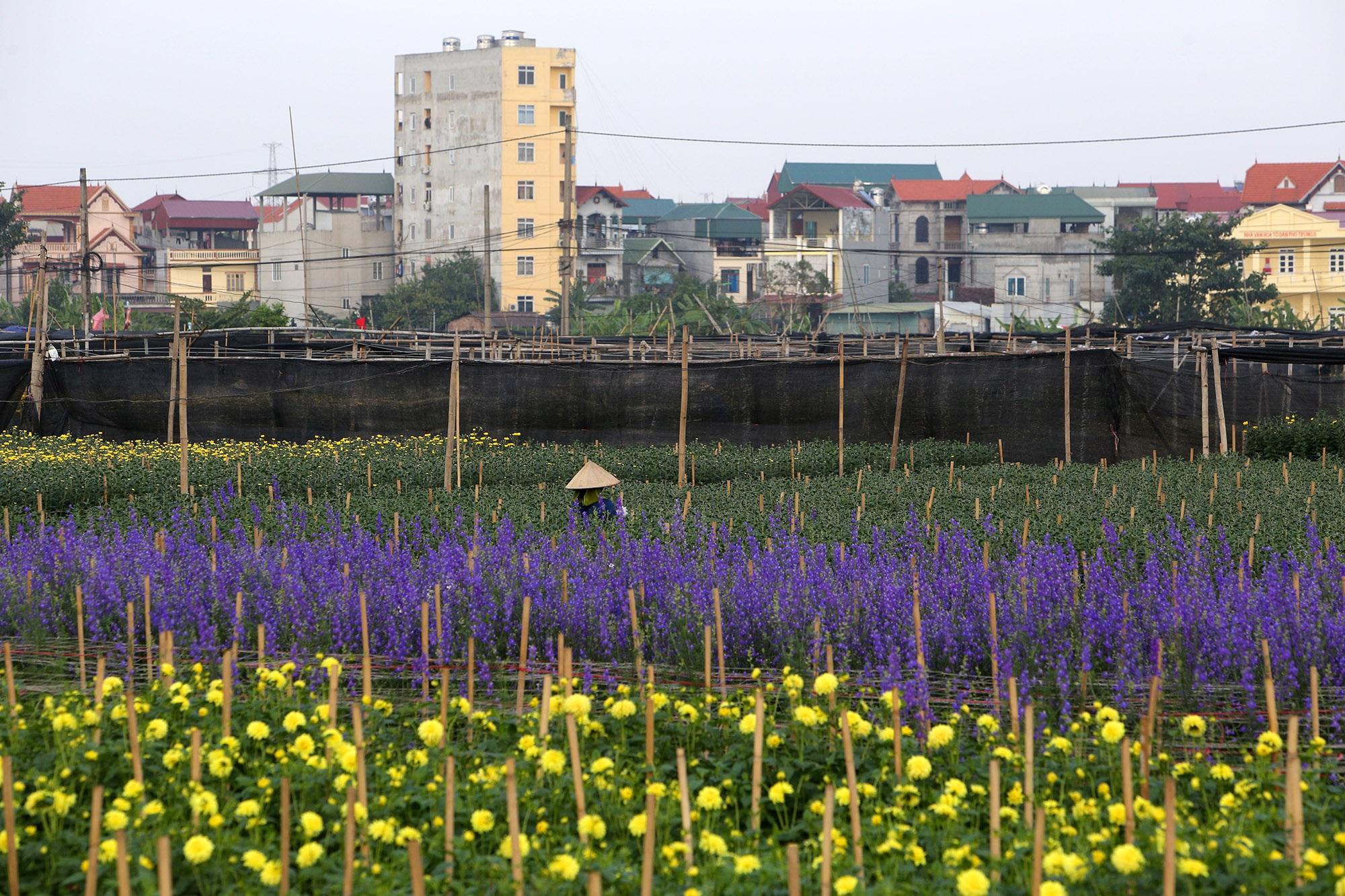 Thủ phủ hoa lớn nhất miền bắc hối hả chuẩn bị phục vụ Tết Canh Tý - 5