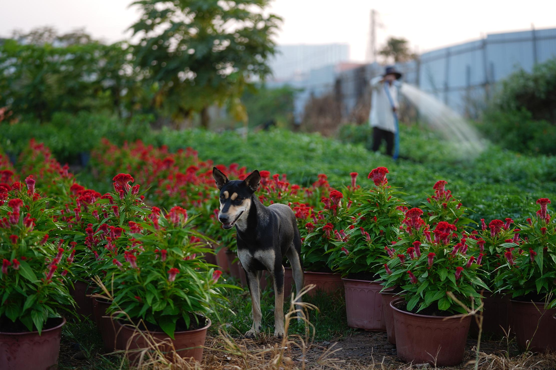 Những ruộng hoa háo hức chờ xuất vườn đón xuân Canh Tý - 11