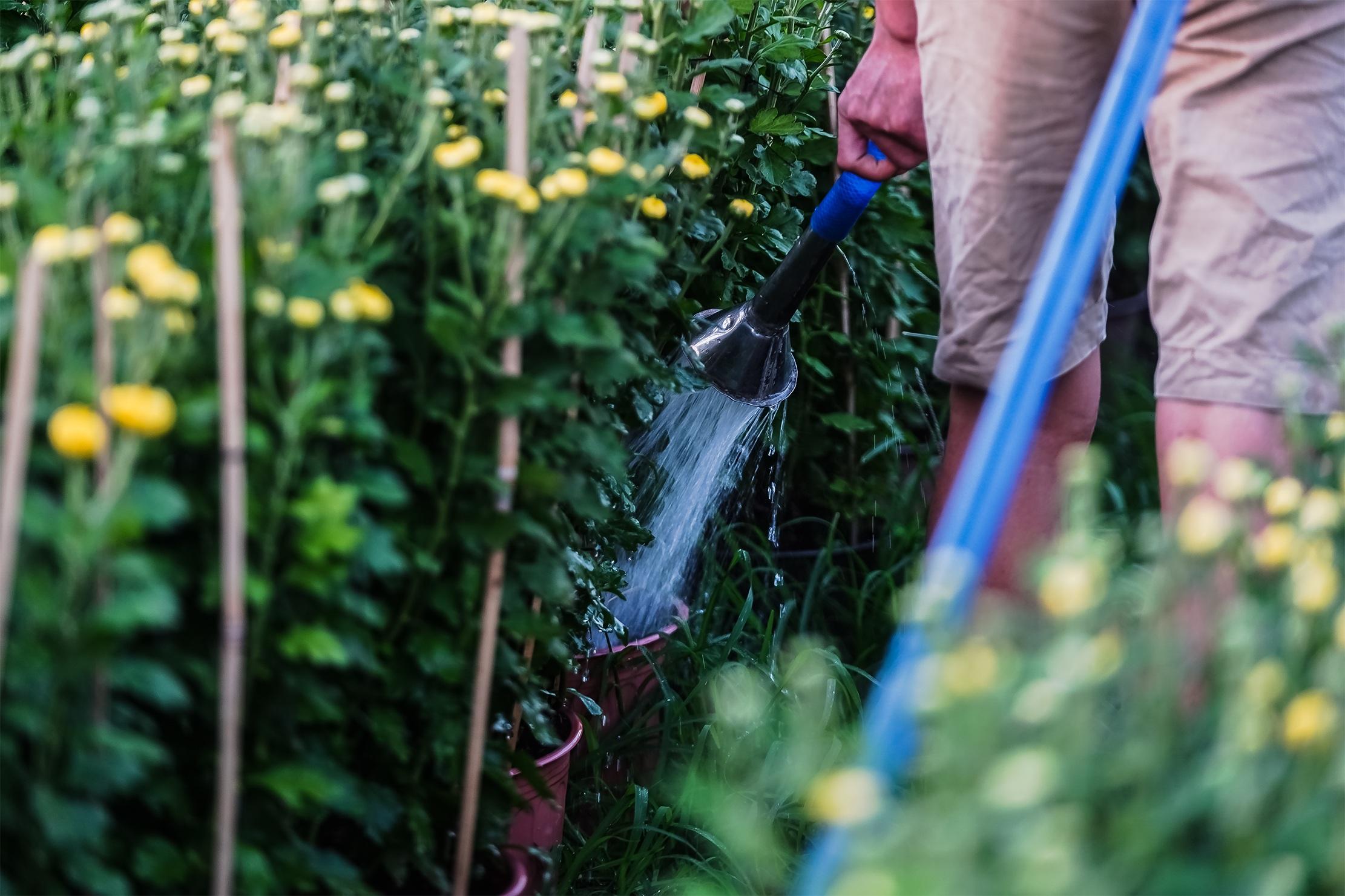 Những ruộng hoa háo hức chờ xuất vườn đón xuân Canh Tý - 13